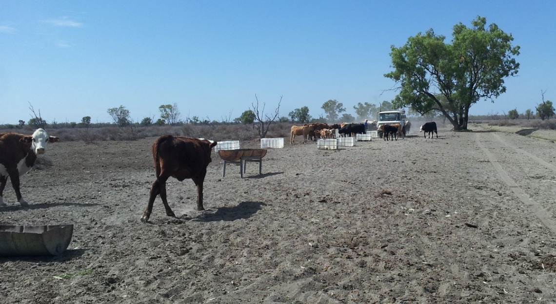 Cows and drought near Lightning Ridge