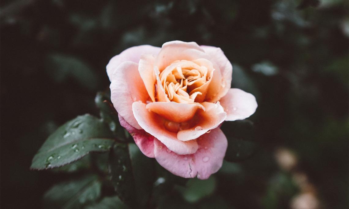 Abundant Life: Blooming Rose